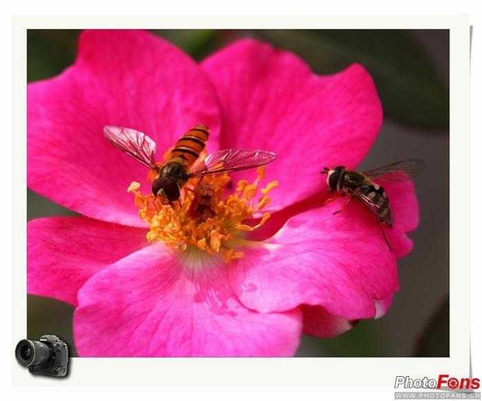 月季花上的小蜜蜂