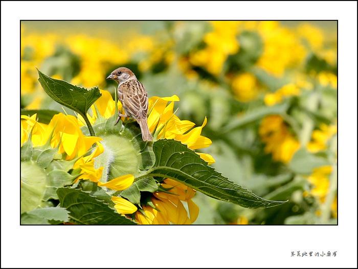 葵花地里的小麻雀