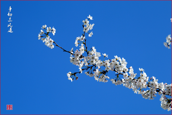 庄里樱花分外美