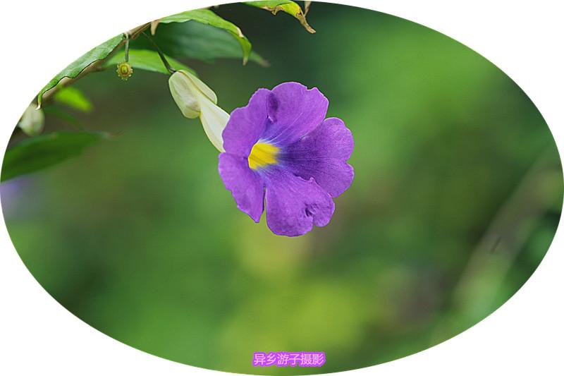 春日花影____硬枝老鸦咀花<原创>