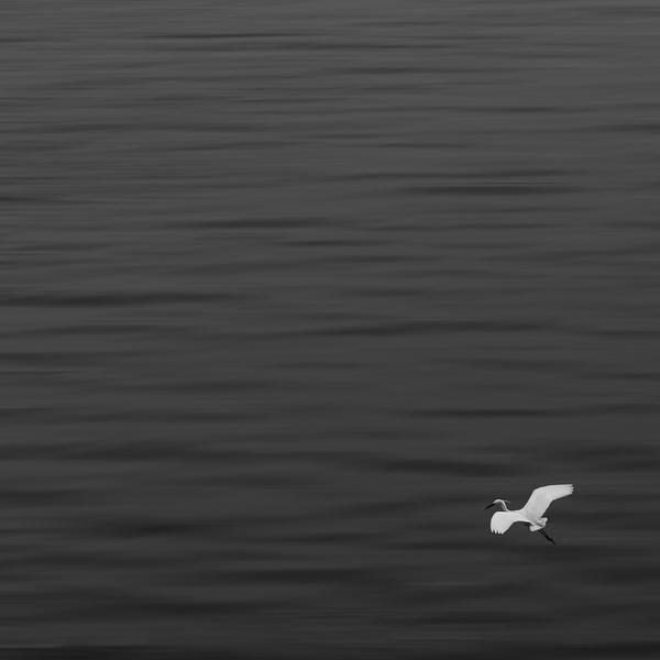 飞翔的白鹭