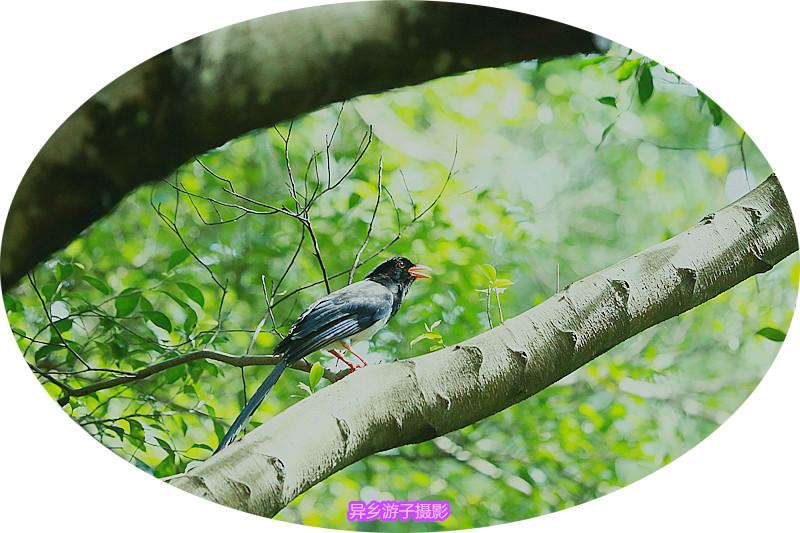 夏日鸟踪____红嘴兰鹊(原创)