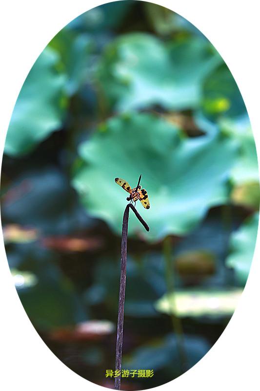 夏目蜒踪____蜻蜓(原创)