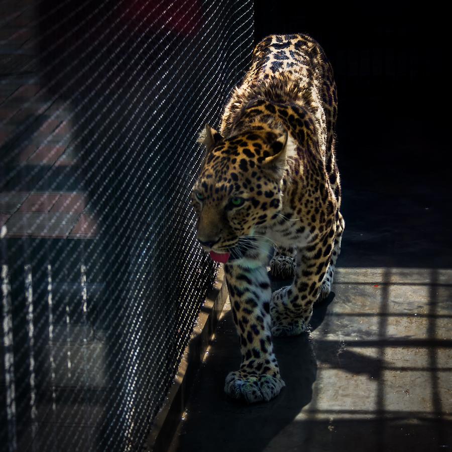 笼中的金钱豹