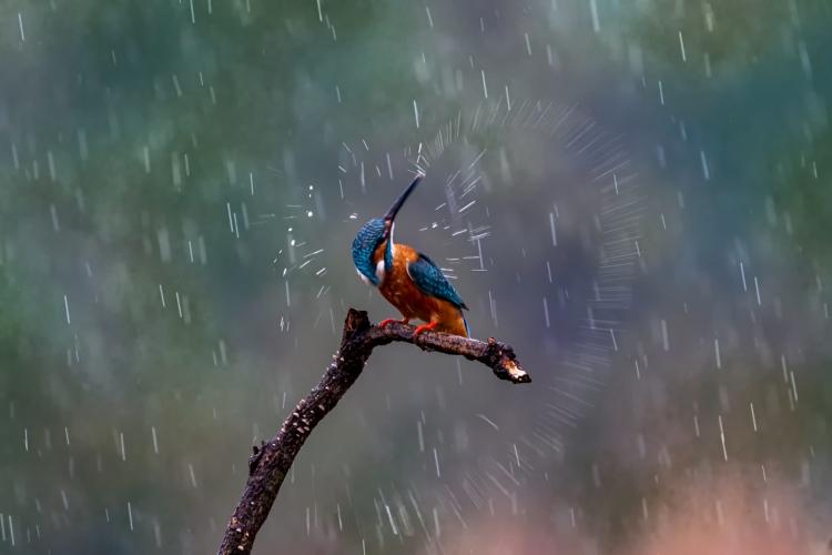 雨中的翠鸟