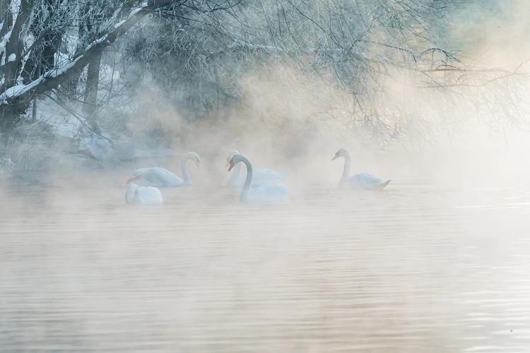 再摄冬雪新疆——优雅淑闲美天鹅